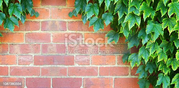 Green ivy leaves on red brick wall background