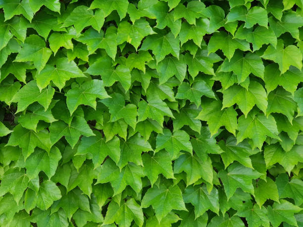 Green Ivy Leaves Wall as Wallpaper stock photo