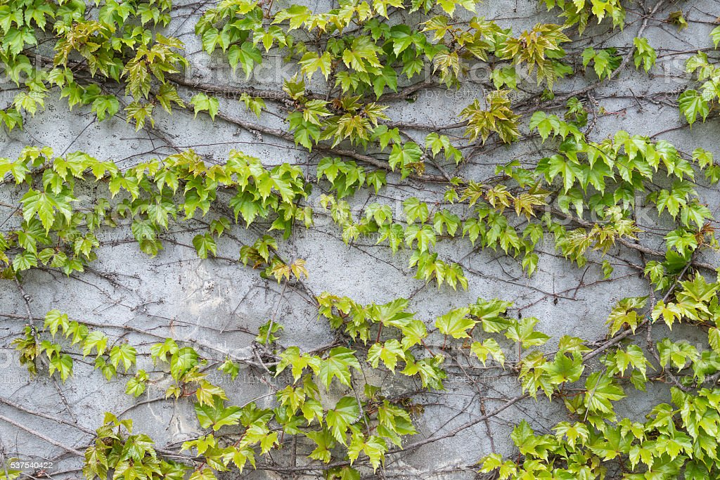 Green Ivy leaves wall for background stock photo
