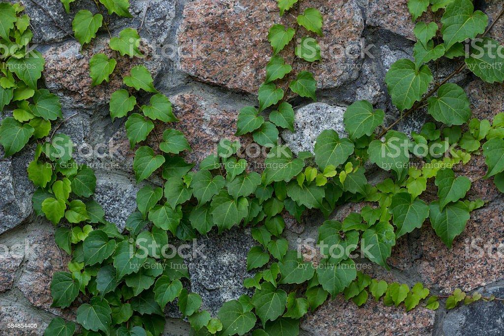 Green ivy liana climbs on brick wall natural background stock photo