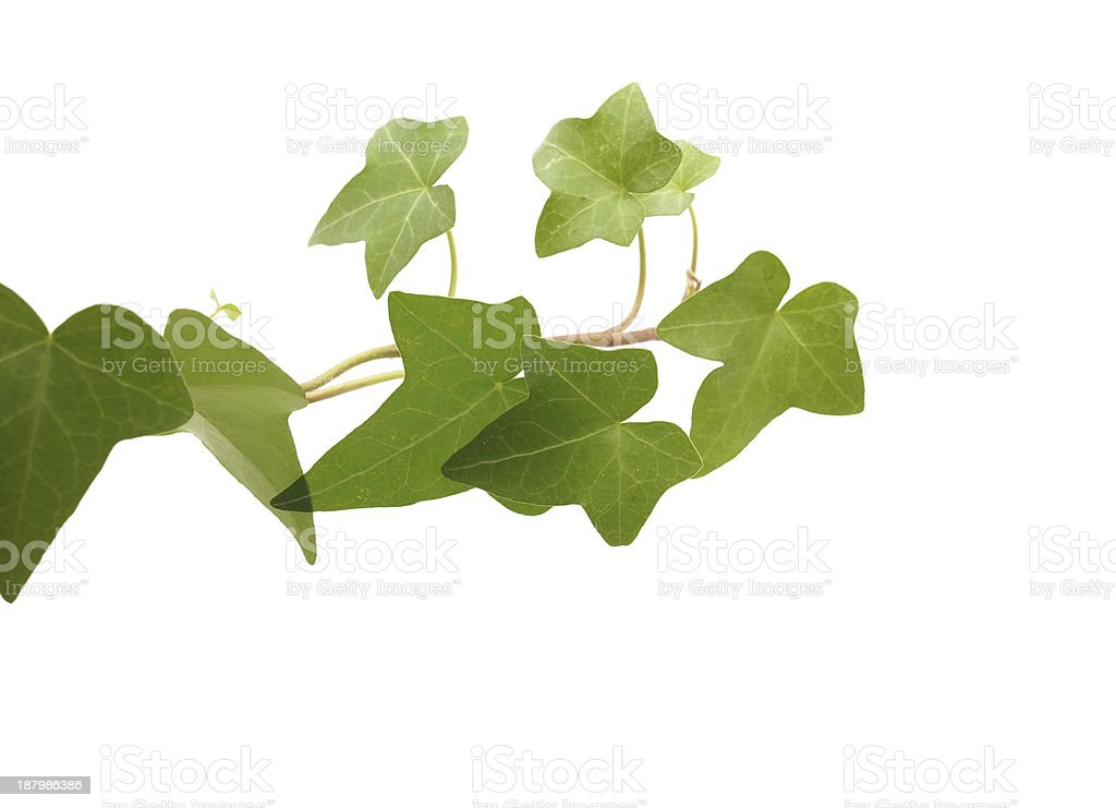 green ivy on a white background royalty-free stock photo