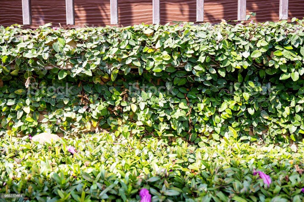 Green ivy on wall with grass zbiór zdjęć royalty-free