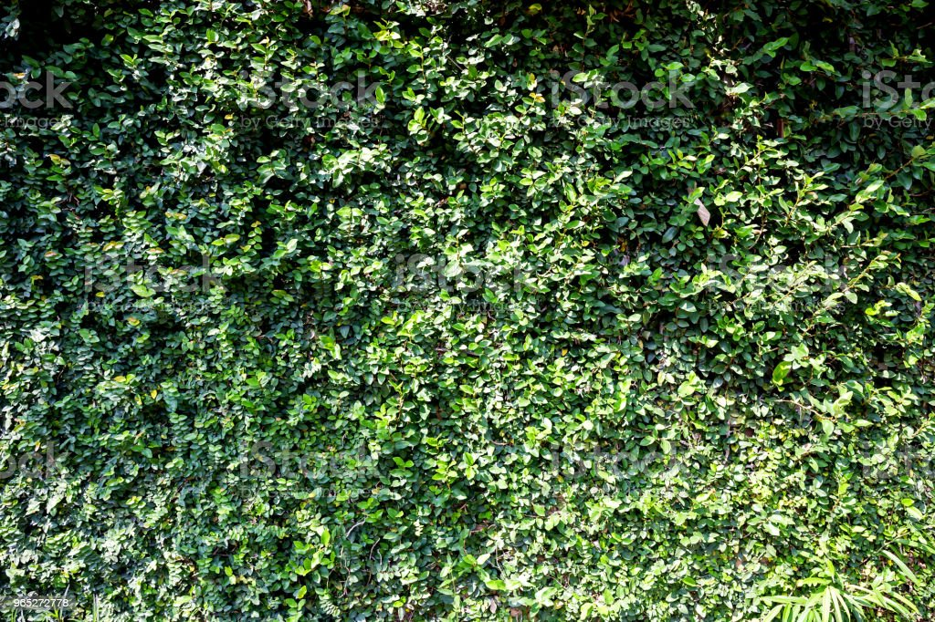 Green ivy on wall with grass royalty-free stock photo