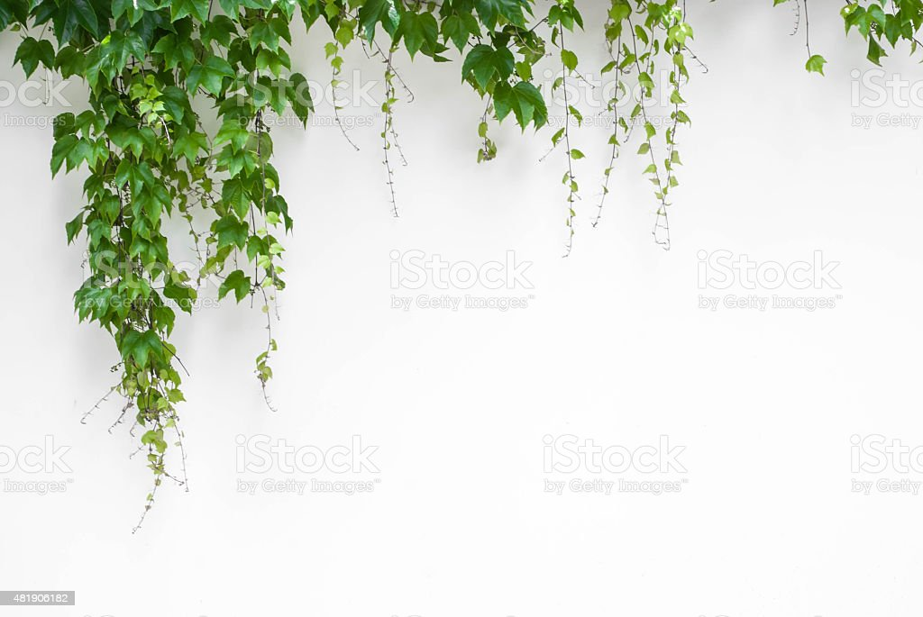 Green ivy on white wall stock photo