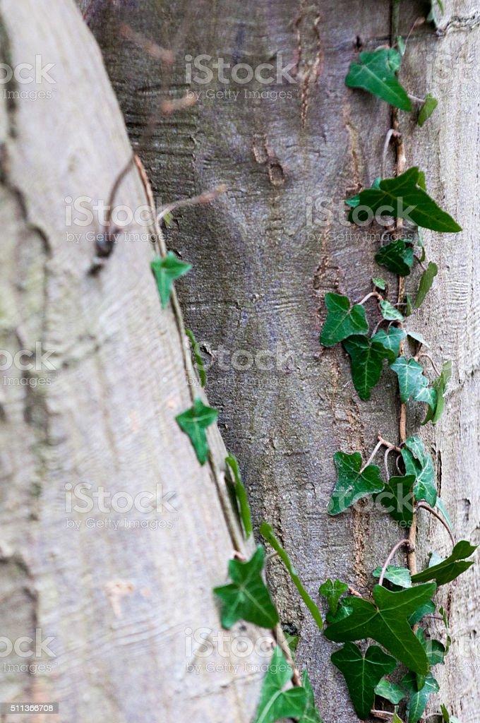 Green Ivy stock photo
