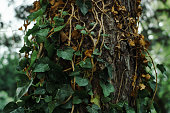 Green ivy plant growing on a old tree. Wildlife, gardening and aging concept.
