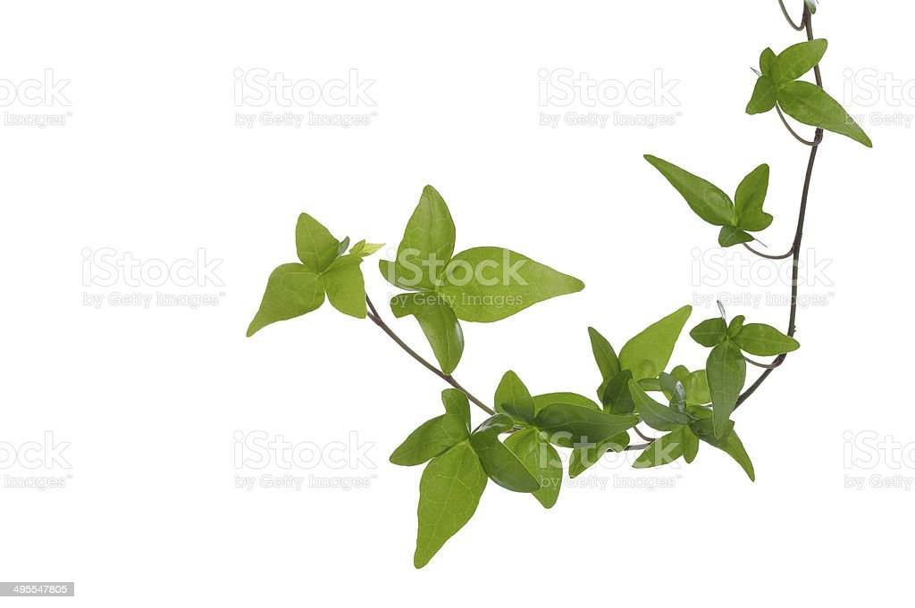 Green ivy plant isolated on white background stock photo