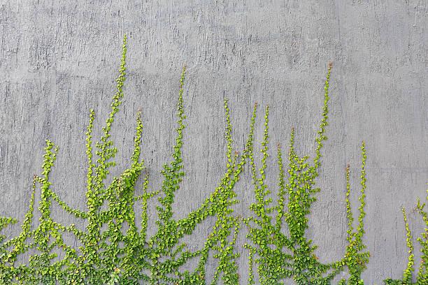 hera verde com paredes cinzento - ivy building imagens e fotografias de stock