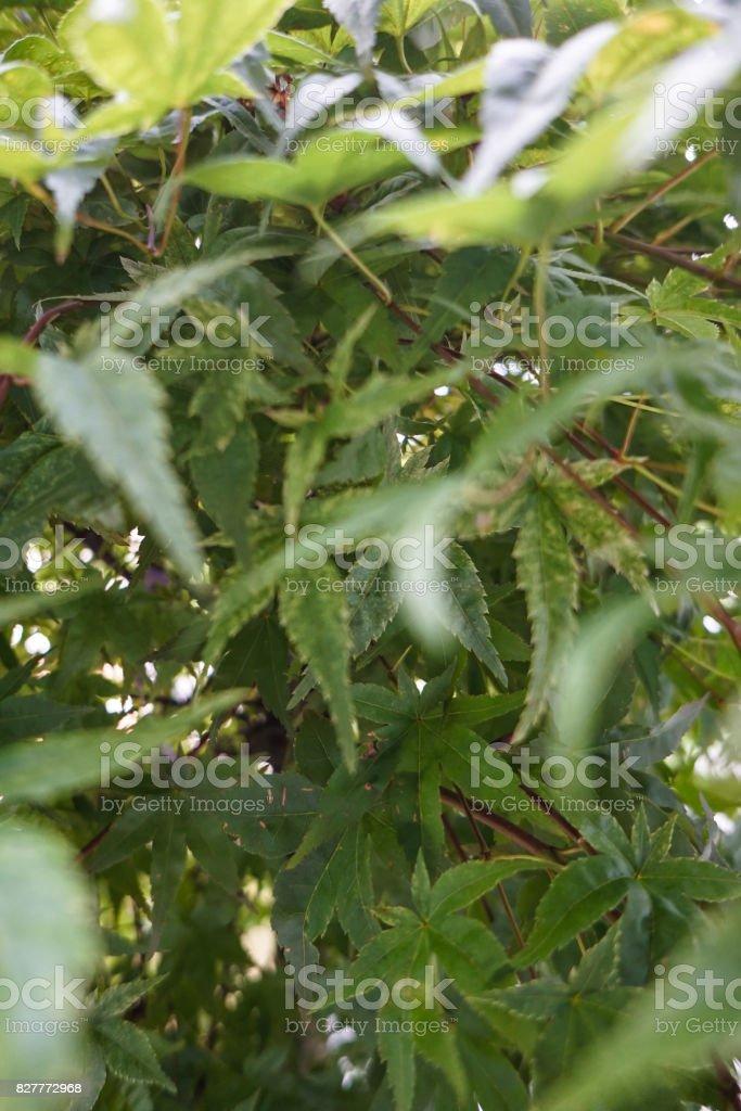 green japanese maple leaf stock photo