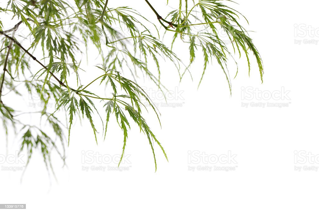 Green Japanese Maple Leaves royalty-free stock photo