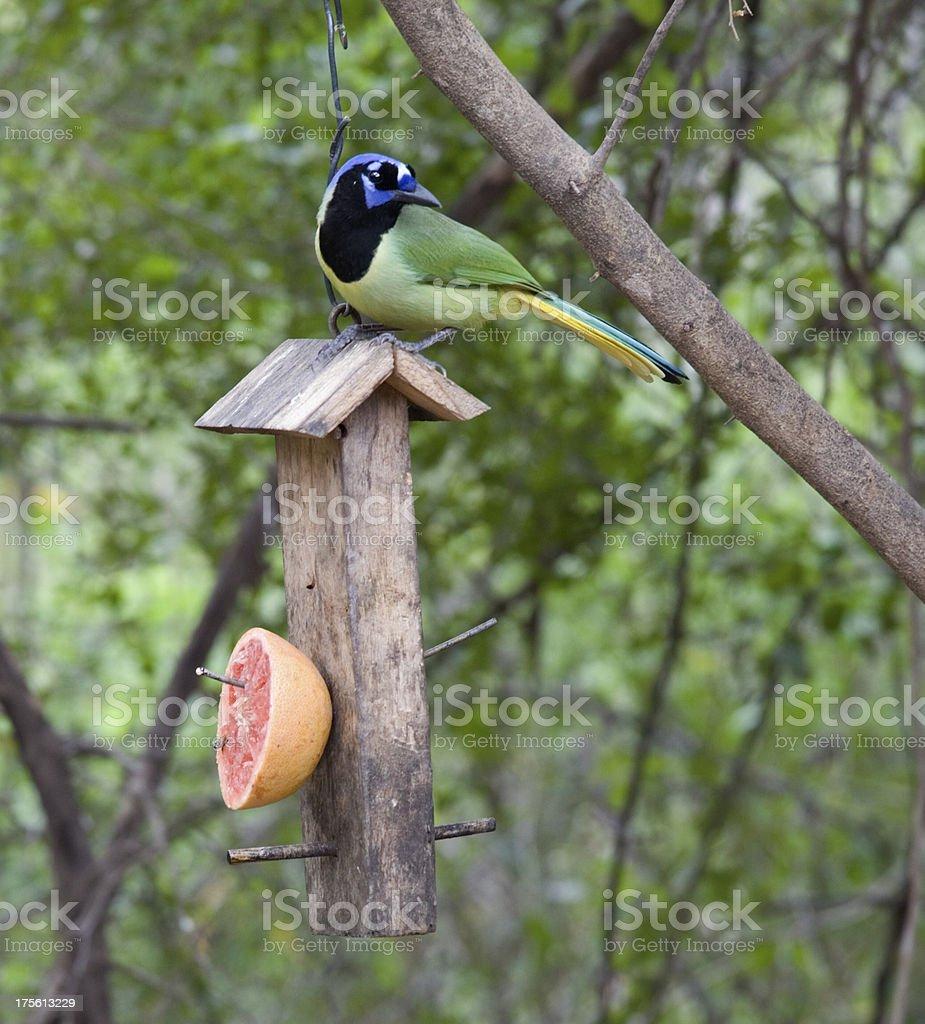 Green Jay Bird On Feeder Texas Rio Grande Valley Stock Photo Download Image Now Istock