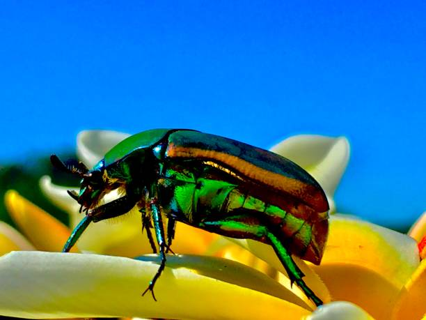 green june bug / cotinis nitida macroinvertebrate beetle samuel howell stock pictures, royalty-free photos & images