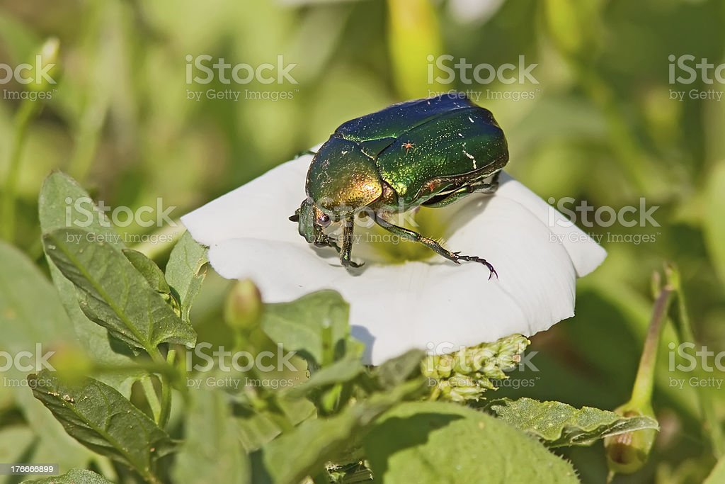 Green June Bug On A Flower royalty-free stock photo