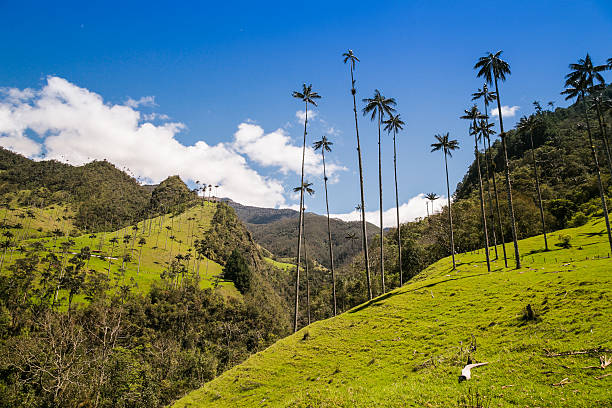 green jungle in mountains, palm trees in cocora valley, colombia stock photo