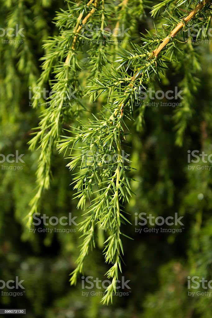 Green juniper branch royalty-free stock photo