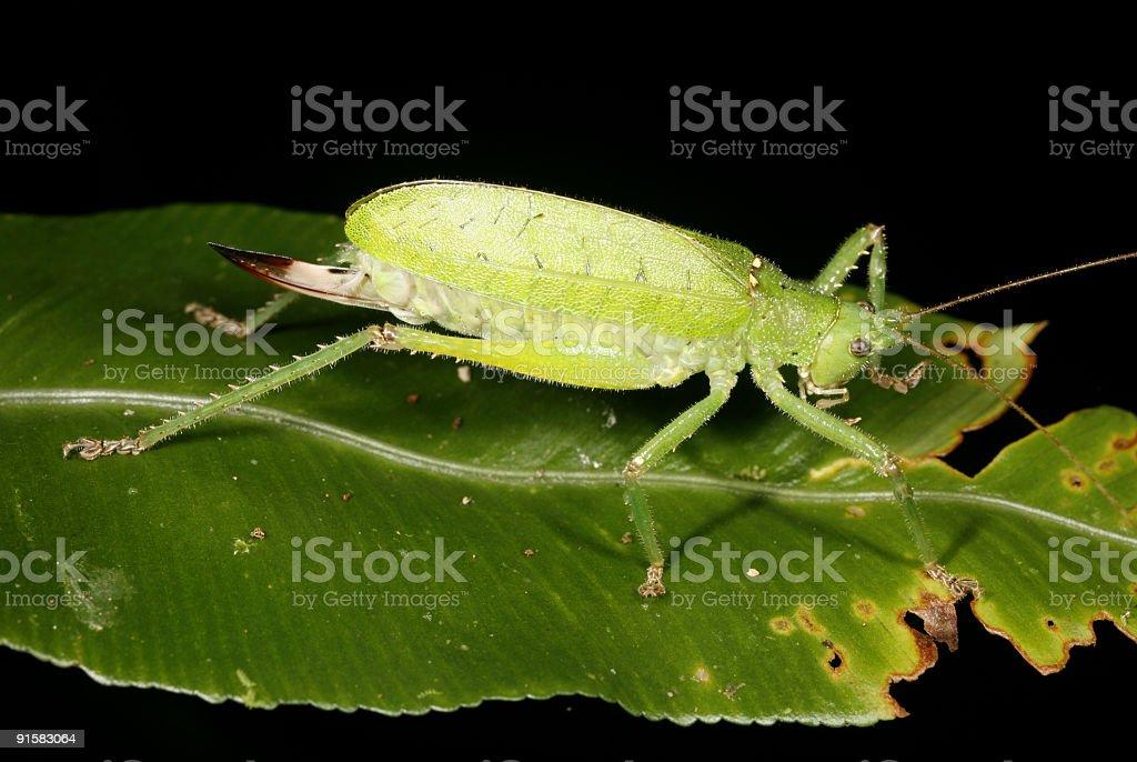 green katydid on a leaf royalty-free stock photo
