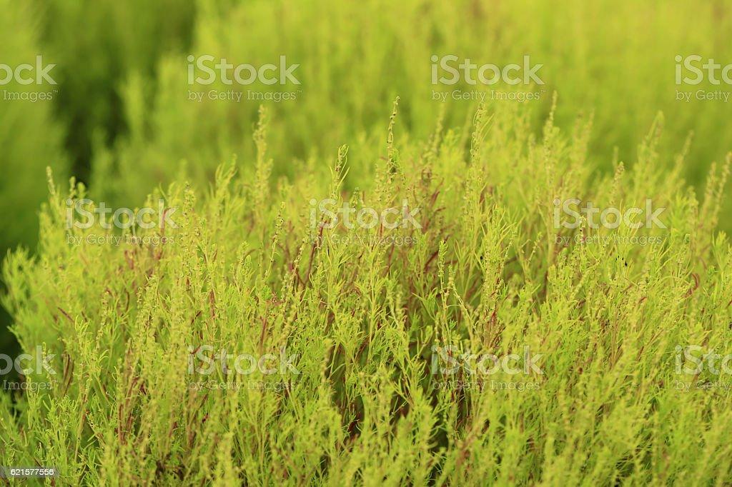 Green Kochia or Bassia scoparia selective focus by macro lens. photo libre de droits