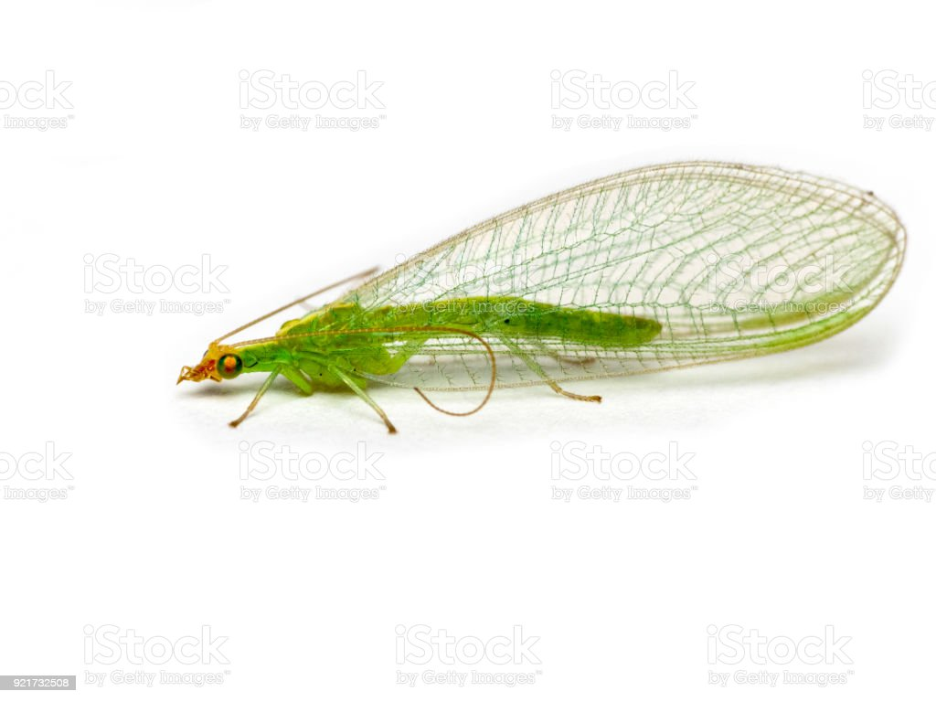 Green lacewing  Chrysopidae stock photo
