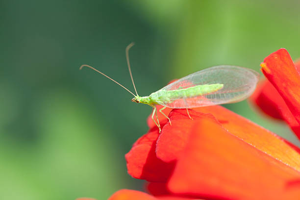 Green lacewing (Dichochrysa ventralis) stock photo