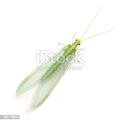 Green lacewing isolated on a white background.