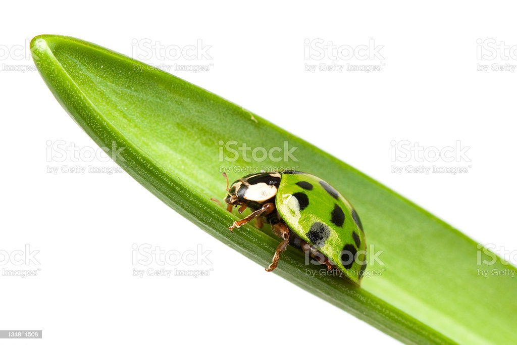 Green Ladybird royalty-free stock photo