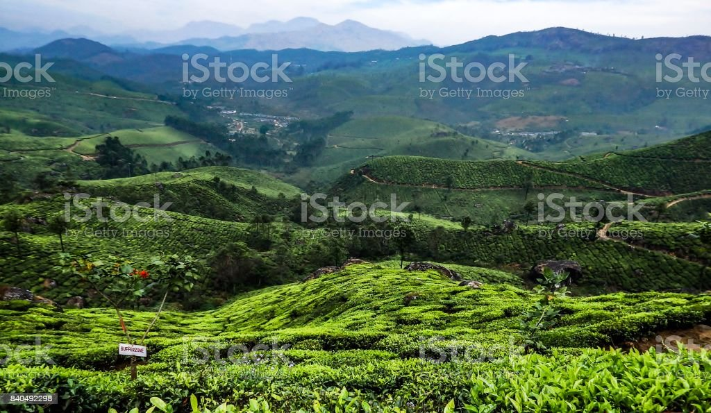 Green landscape tea plantation stock photo