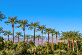 Green landscape with a row of palm trees and mountain range in the background in the Coachella Valley in California