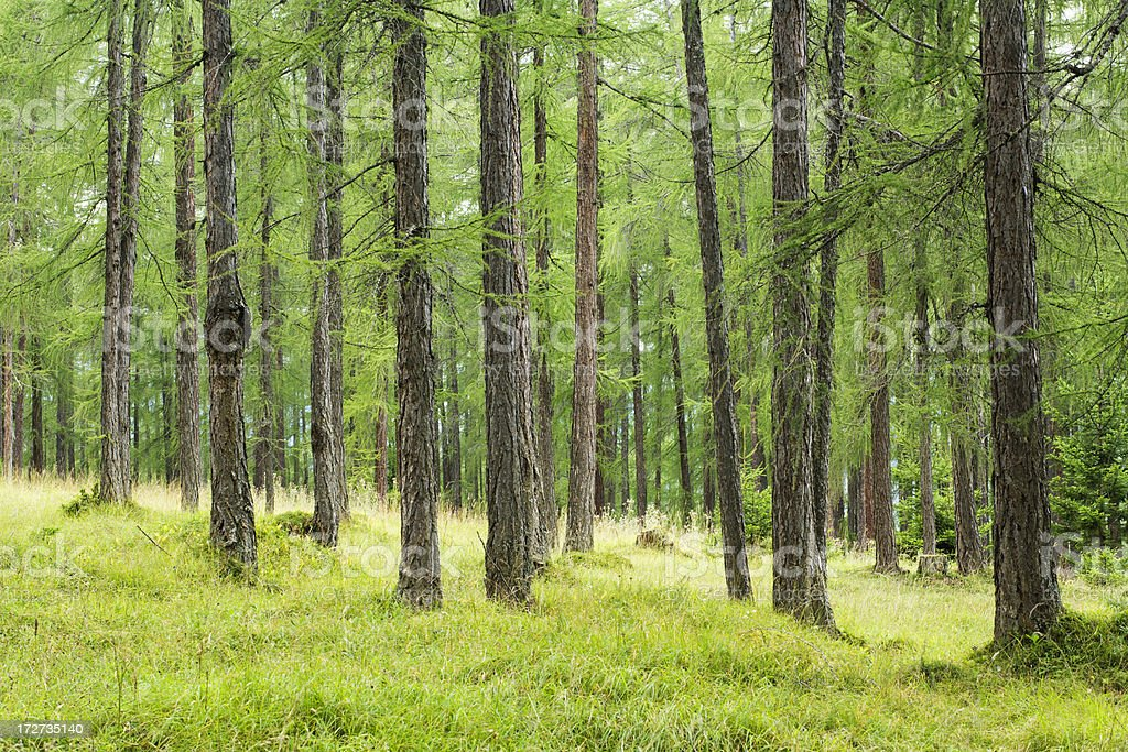 green larch forest royalty-free stock photo