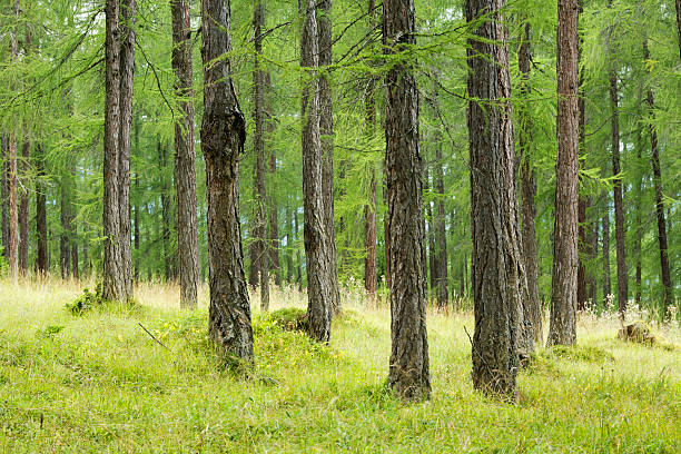 green larch forest stock photo