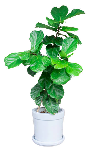 große blätter baum eine topfpflanze über weiße für die inneneinrichtung von außen isoliert - blumentopf groß stock-fotos und bilder