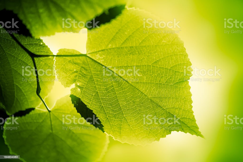 Green large leaves lighten from behind on green background stock photo