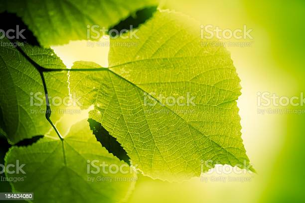 Photo of Green large leaves lighten from behind on green background
