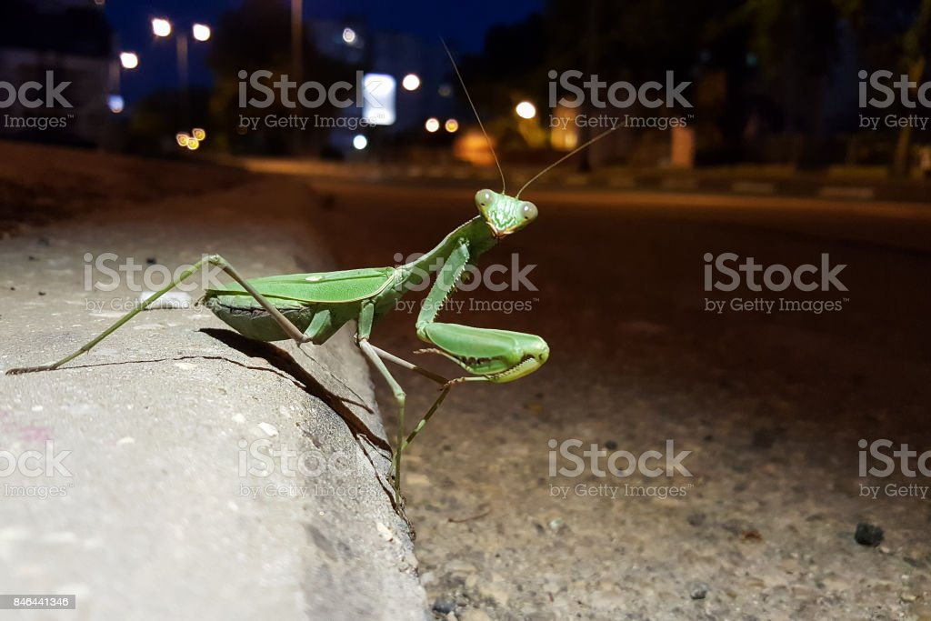 Green large mantis on the town night street stock photo