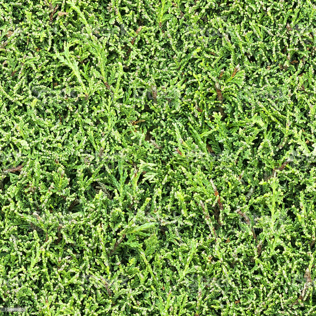 Green Laurel Hedge Background Tile (Seamless In All Directions) stock photo