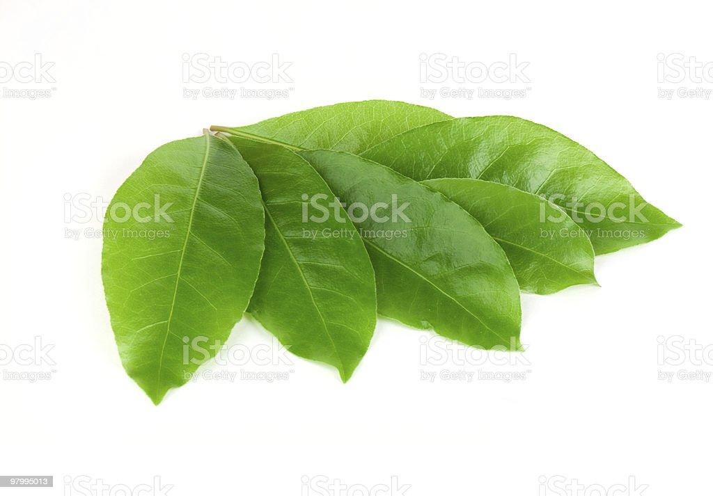 Green laurel leaves royalty-free stock photo