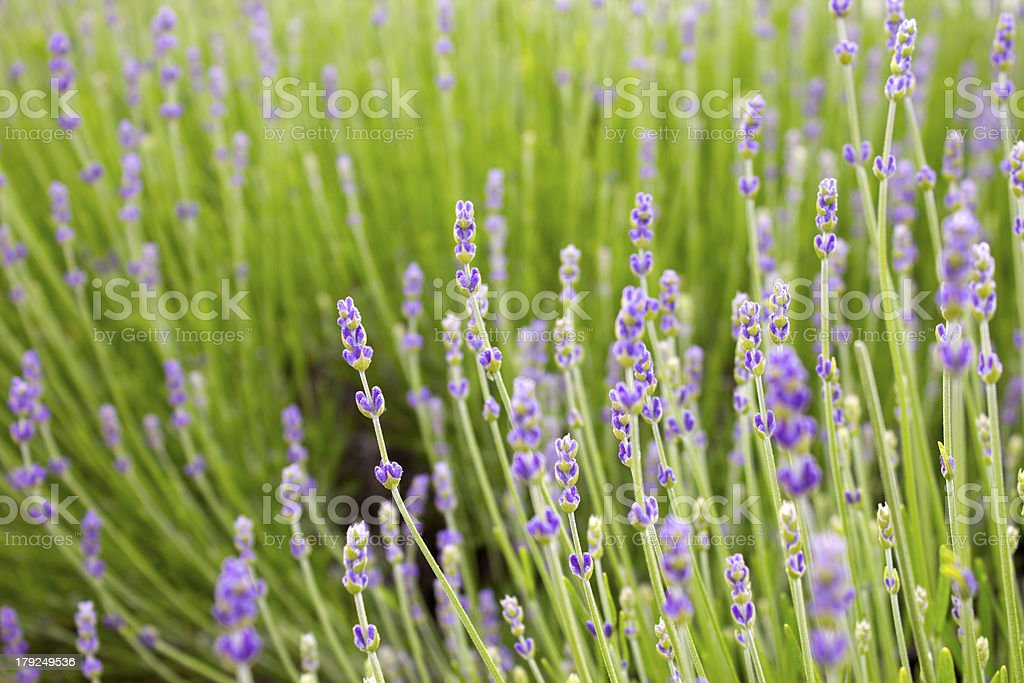 Green lavender field royalty-free stock photo