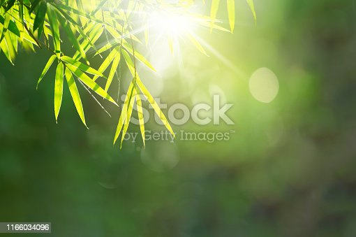 Soft blurred bamboo leaves on natural green bokeh background against sunrise for copy space. Green leaf background