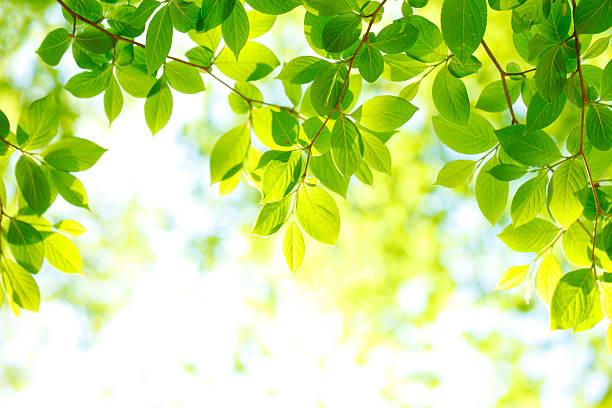 緑の葉のバックグラウンド - 木漏れ日 ストックフォトと画像