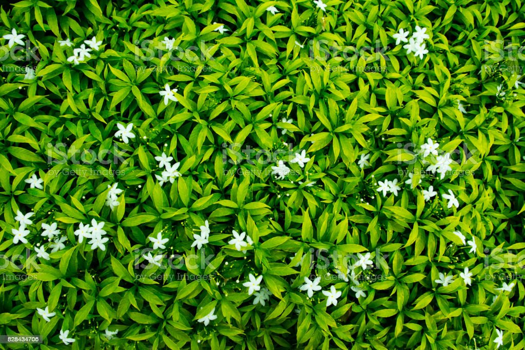 Green leaf background with white flowers stock photo