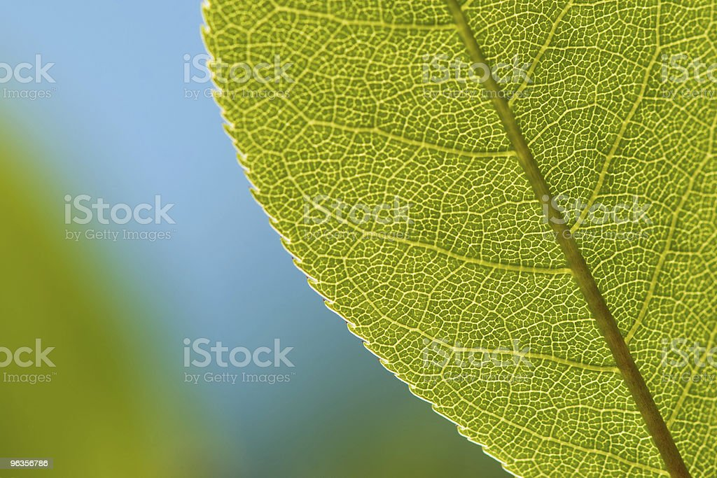 Green Leaf Closeup Against Blue Background royalty-free stock photo