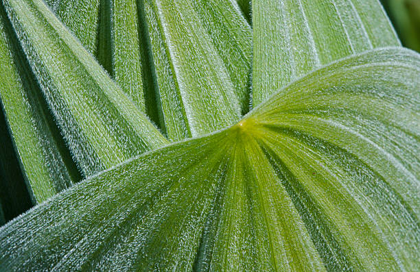 Green Leaf Close-up A macro photograph of the rich green and fuzzy leaves of the False Hellebore plant false hellebore stock pictures, royalty-free photos & images