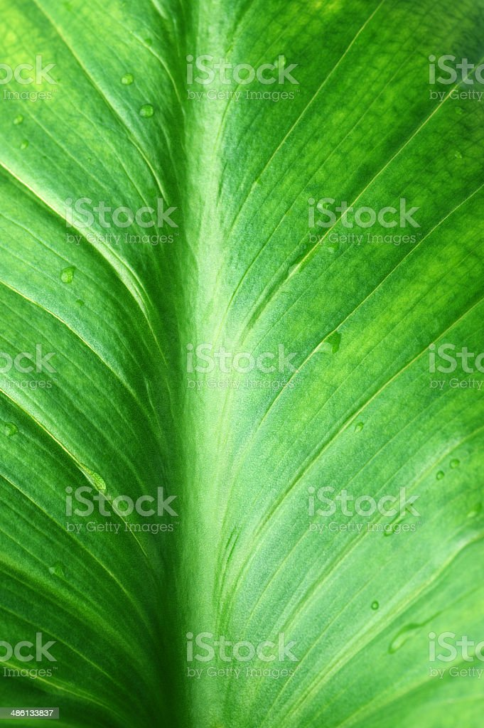 Green leaf close-up royalty-free stock photo