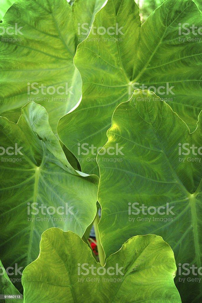green leaf elephant ear plant royalty-free stock photo