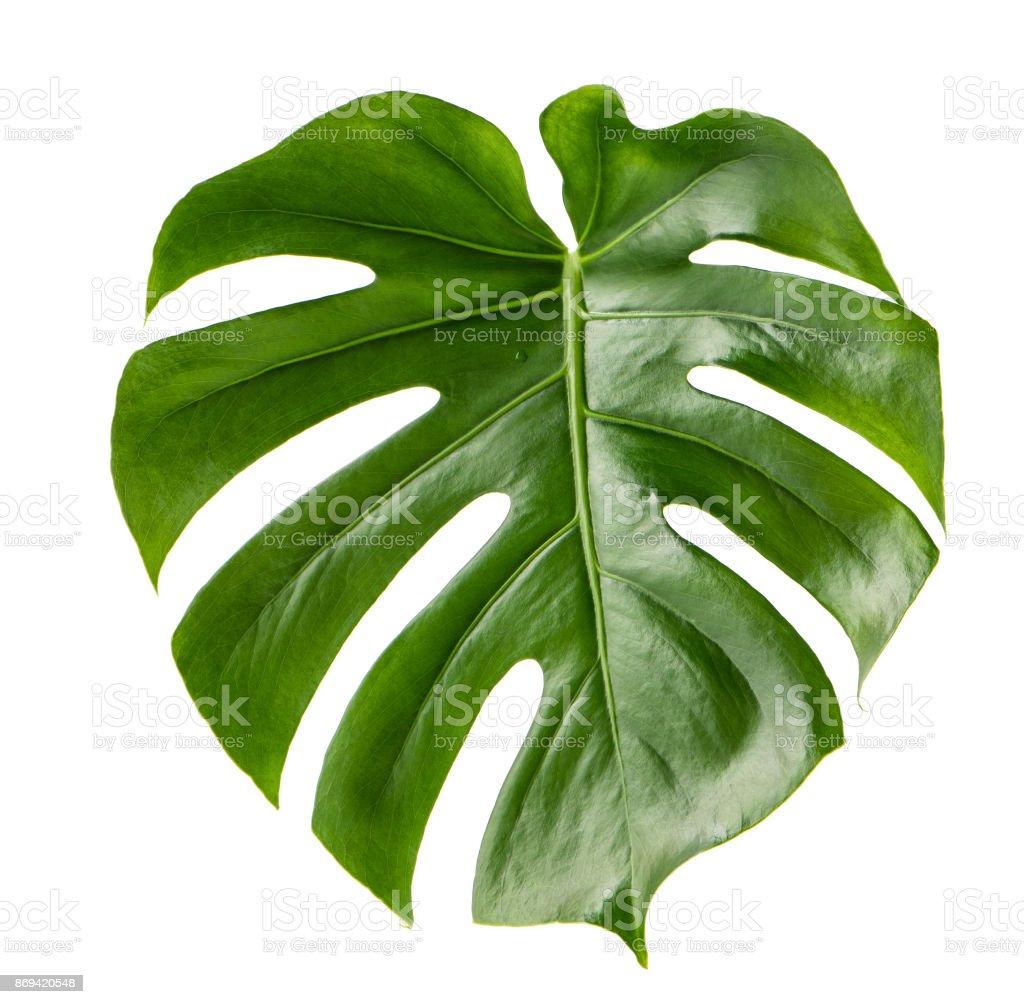 Green leaf exotic plant monstera isolated white background stock photo