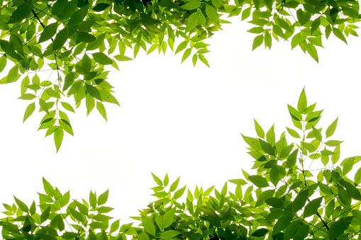 green leaf frame isolate on white background