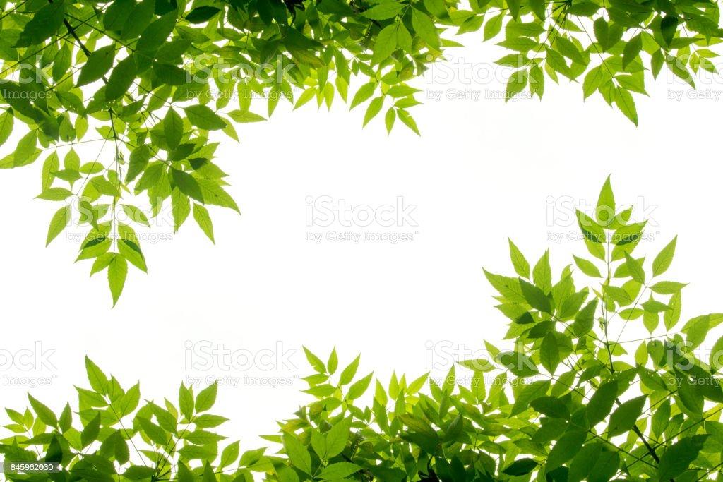 isoler les châssis feuille verte sur fond blanc - Photo