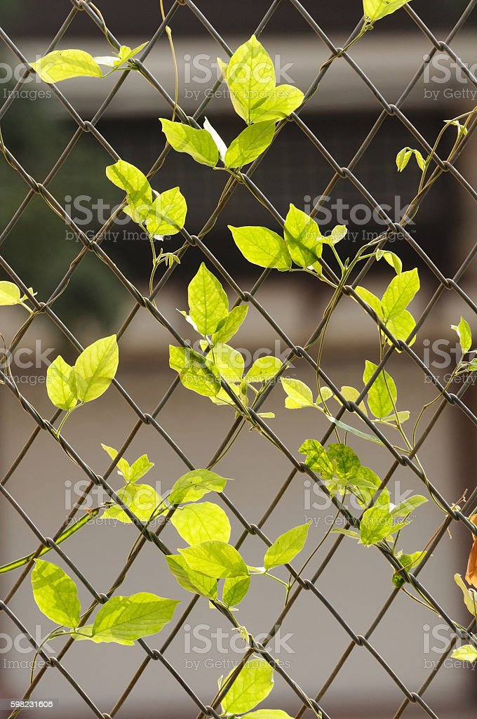 Green leaf hanging on wire fence foto royalty-free
