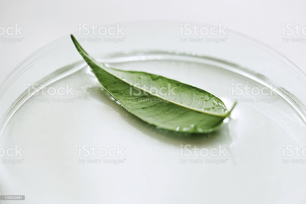 Green leaf in petri dish. royalty-free stock photo