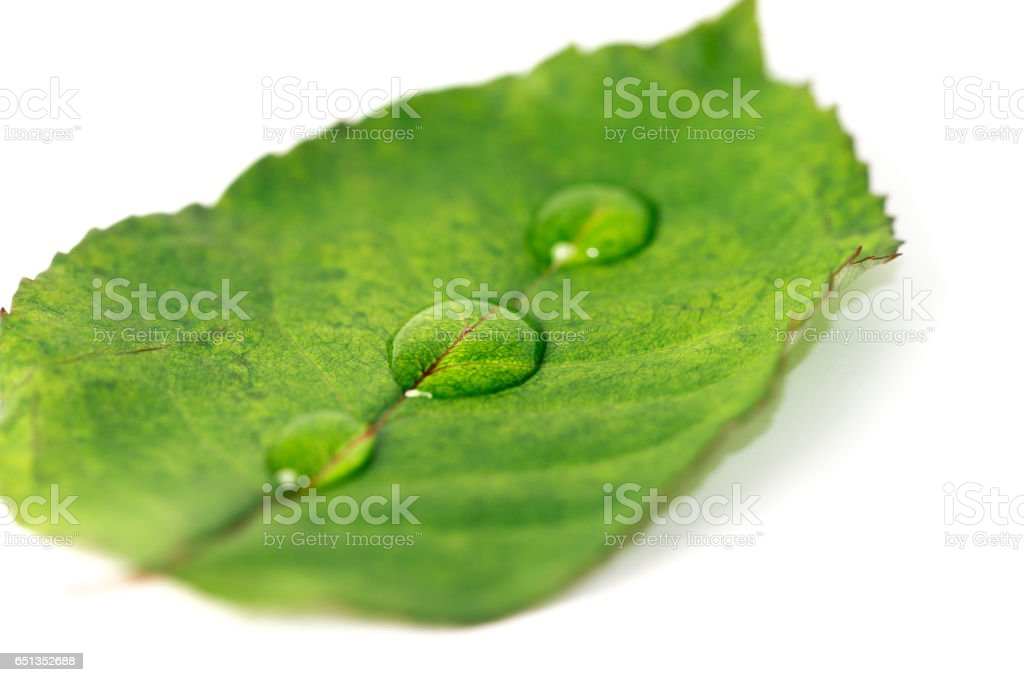 Green leaf isolated on the white background. Close up stock photo