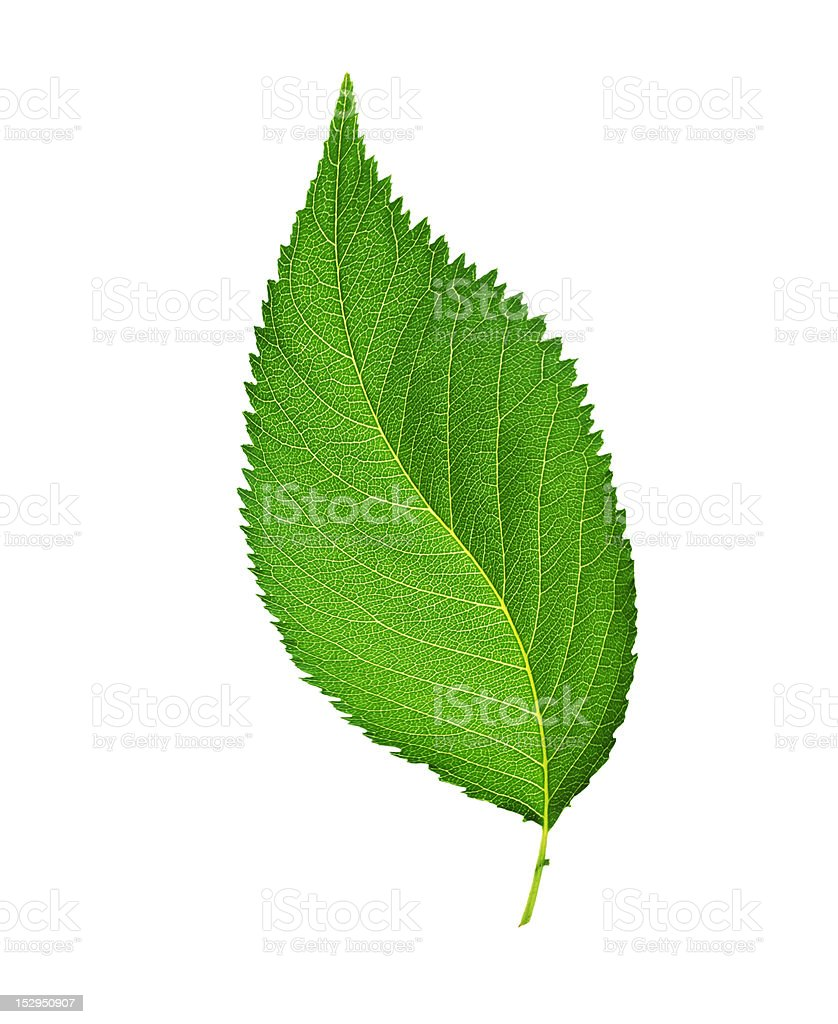 Green leaf. Isolated on white background royalty-free stock photo